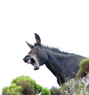 burro-olavista